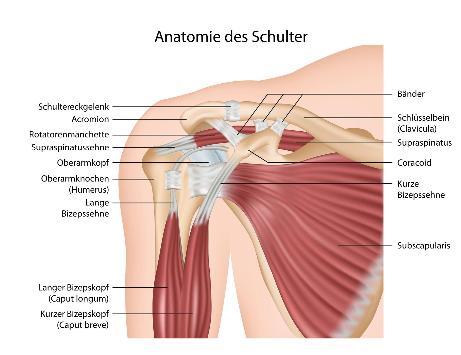Wunderbar Diagramm Schultermuskeln Und Sehnen Bilder - Anatomie Und ...